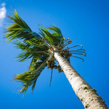 Howea 'forsteriana'. A landmark towering 11m. Kentia Palm