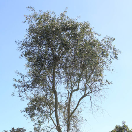 Olea 'nabali'. Naturally authentic & sophisticated, 6m