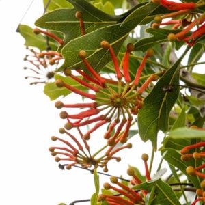 Stenocarpus 'sinuatus'