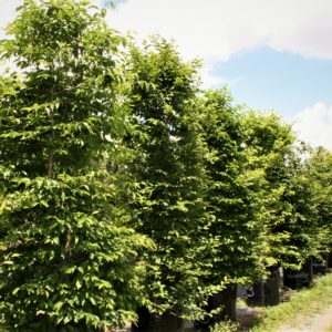 Carpinus 'betulis' for Instant Hedging