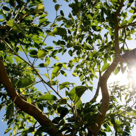 Ficus Stricta. An impressive Strangling Fig, wonderfully untamed & sprawling.
