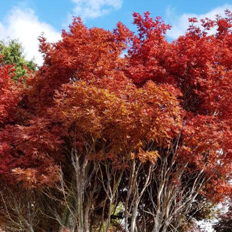 """Acer Palmatum """"Skeeters broom"""". Eyecatching burst of colour"""