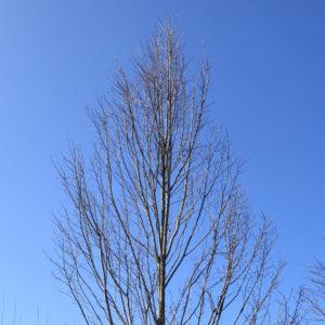 Carpinus 'betulinus ' . Fastigiata