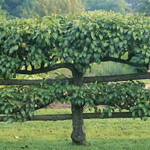 Esaplier Fruit Trees