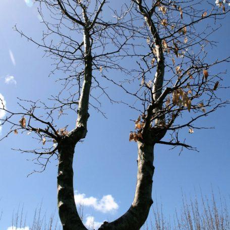 Carpinus 'betulus' . Interactive specimen. Dramatic U-shape trunk formation