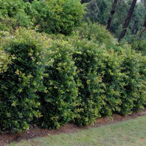 Syzygium Resilience™
