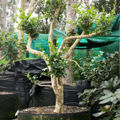 Camellia Mini no Yuki. x7 spectular trees with such spectacular random & individual formation like a freedom dancer