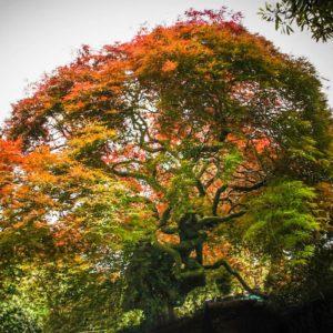 Acer 'palmatum'. Dissectum syn Atropurpurea